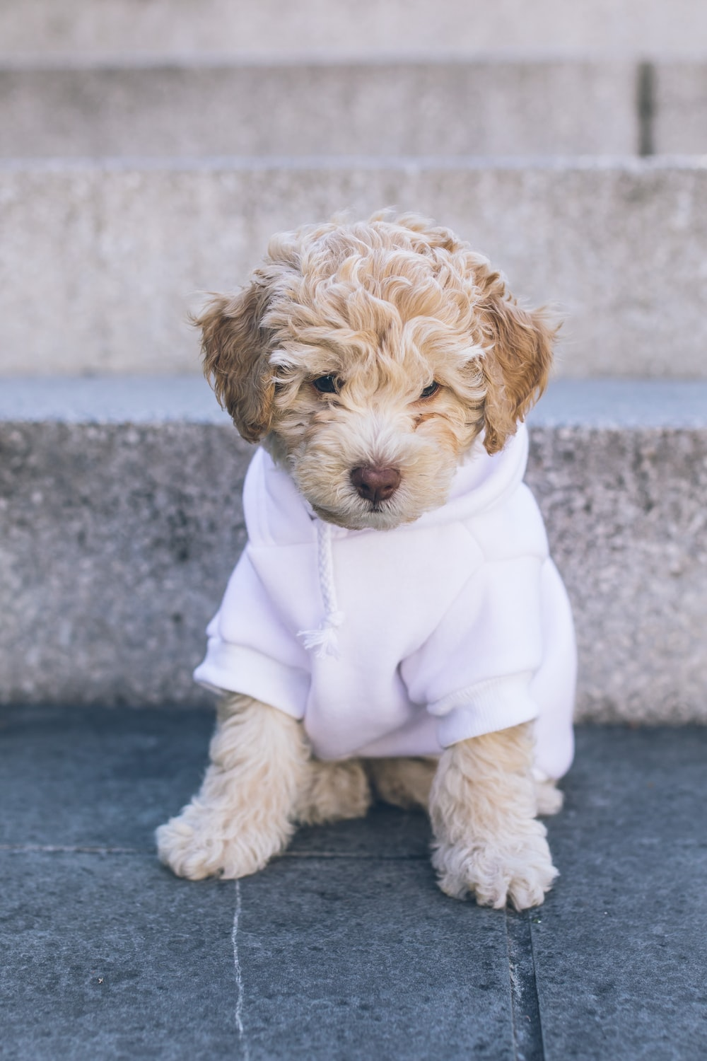 white poodle puppy in white coat