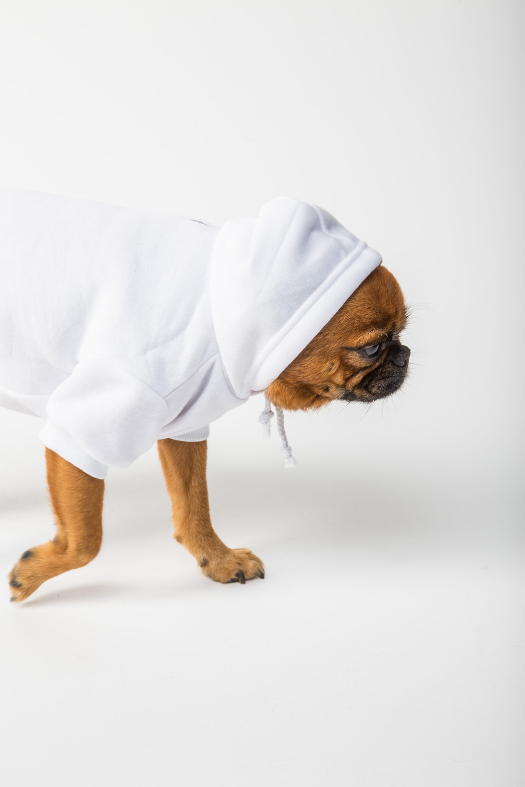 dog wearing a white hoodie on a white background