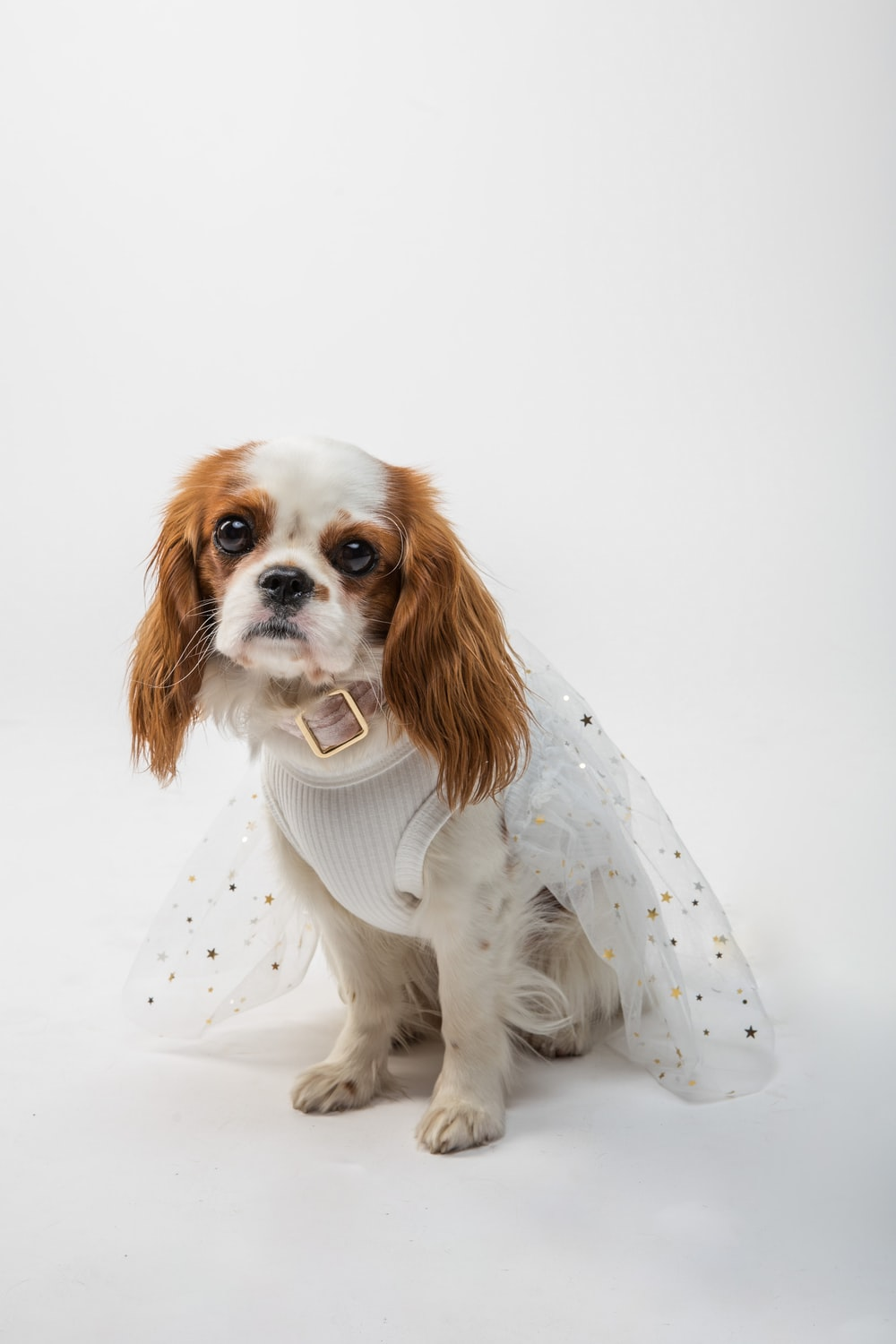white and brown long coated small dog