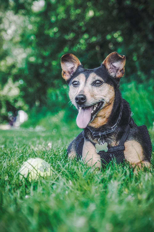 black and tan short coat medium sized dog lying on green grass field during daytime