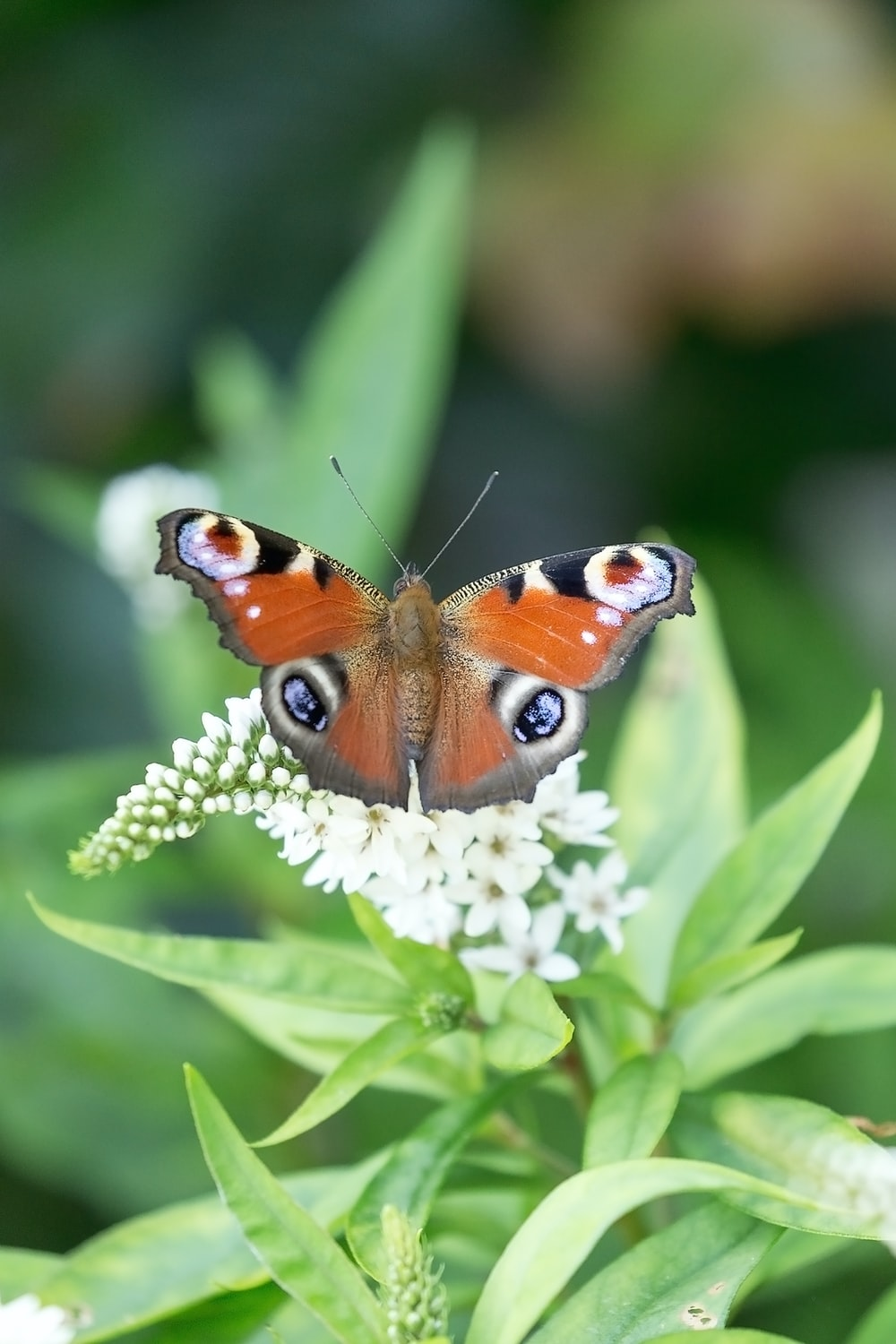 peacock butterfly perched on white flower in close up photography during daytime