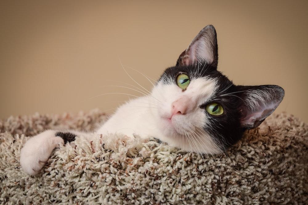 tuxedo cat lying on brown textile
