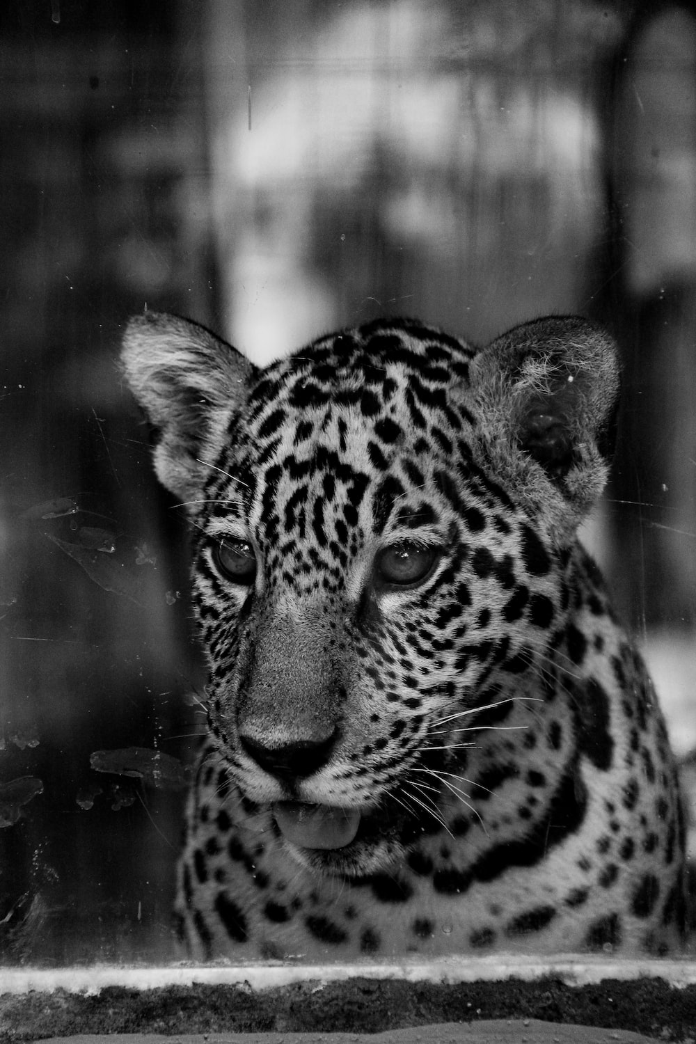 grayscale photo of cheetah in cage