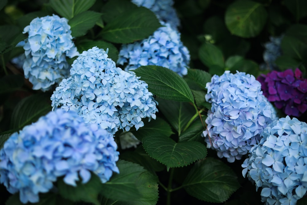 white and blue hydrangeas in bloom during daytime