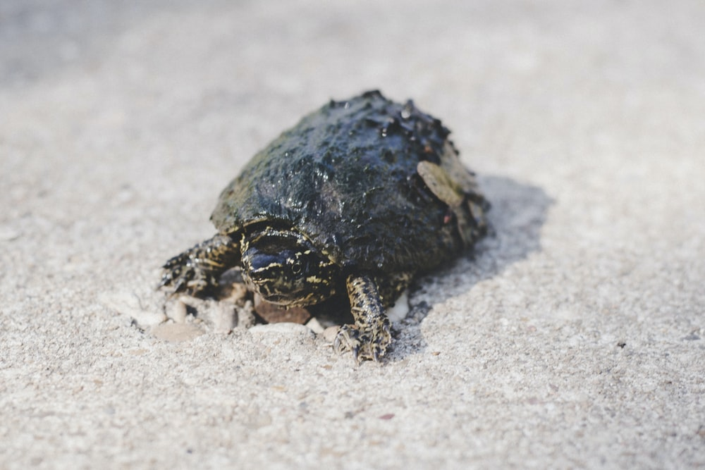 black and brown turtle on white sand during daytime