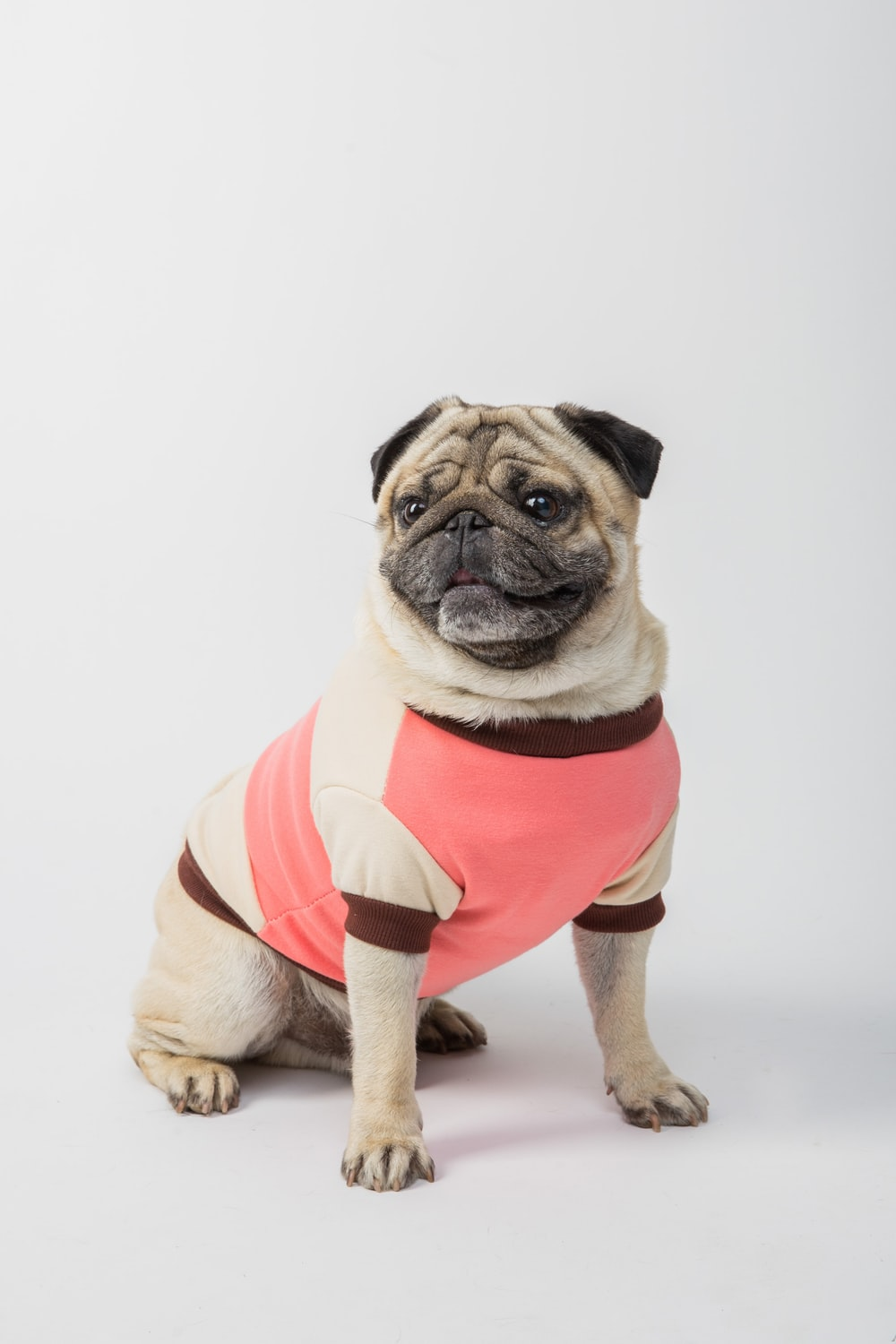 fawn pug wearing red and white striped shirt