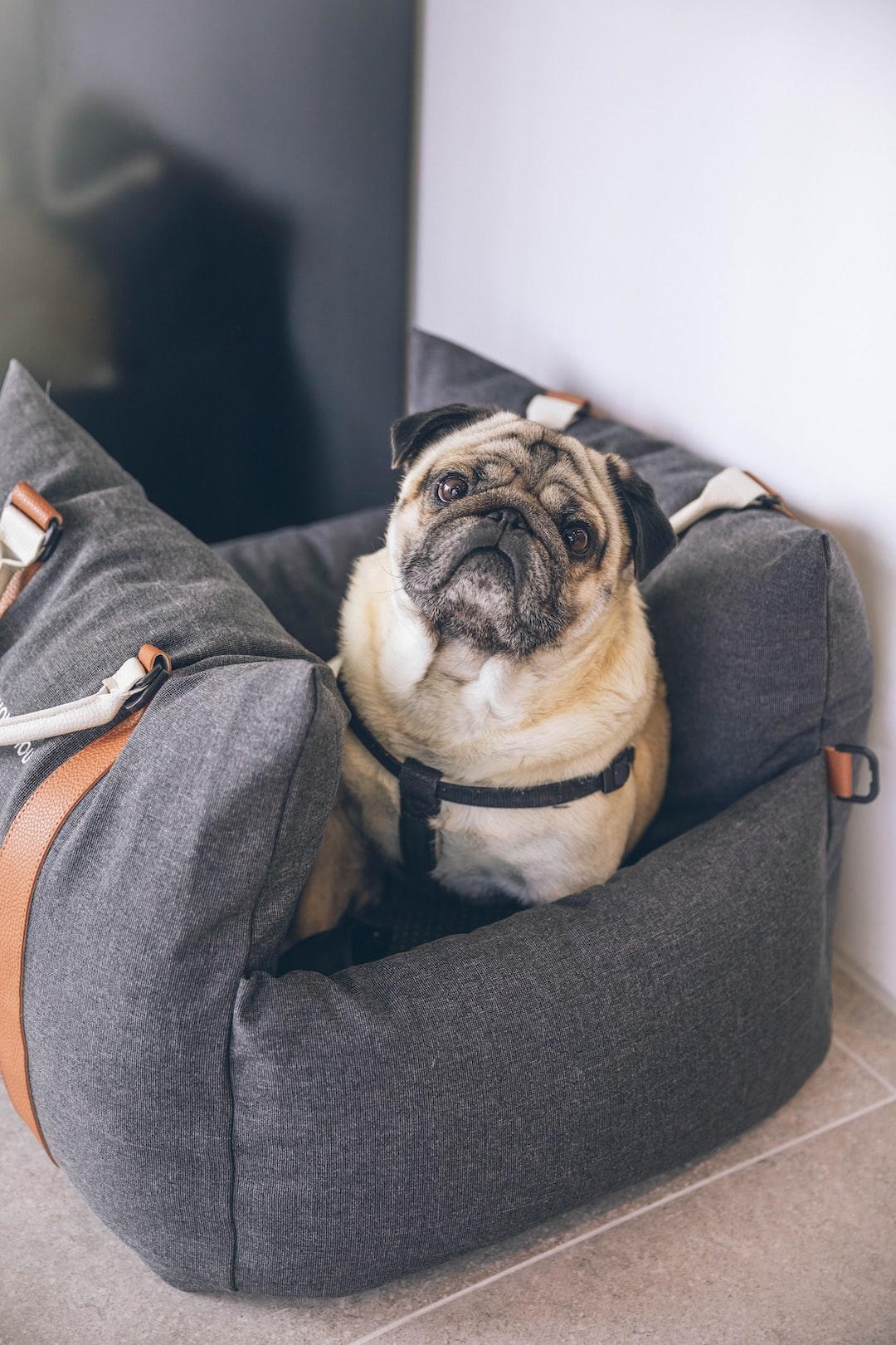 a cute pug in a dog carrier bag car seat