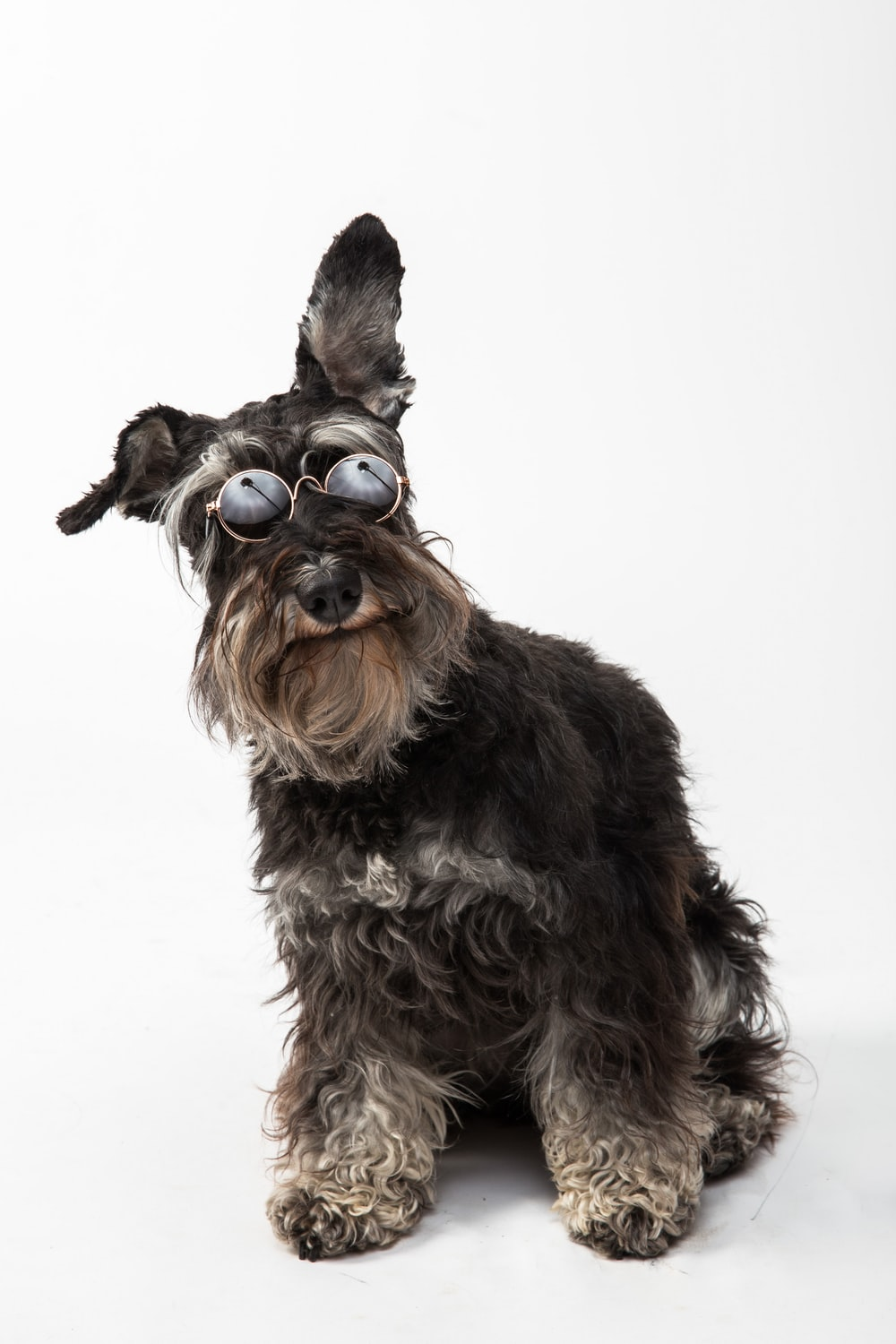 black and brown long coated small sized dog wearing brown sunglasses