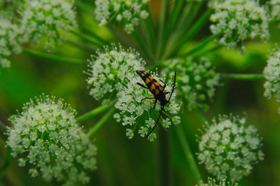 Leptura quadrifasciata or longhorn beetle