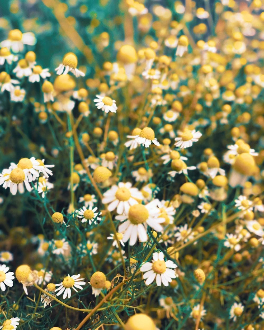 yellow and white flowers in tilt shift lens