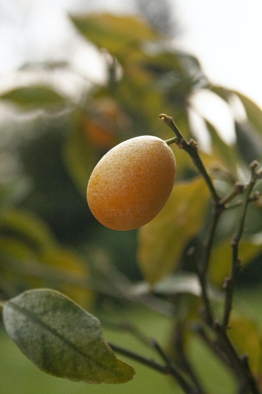 orange fruit on green leaves