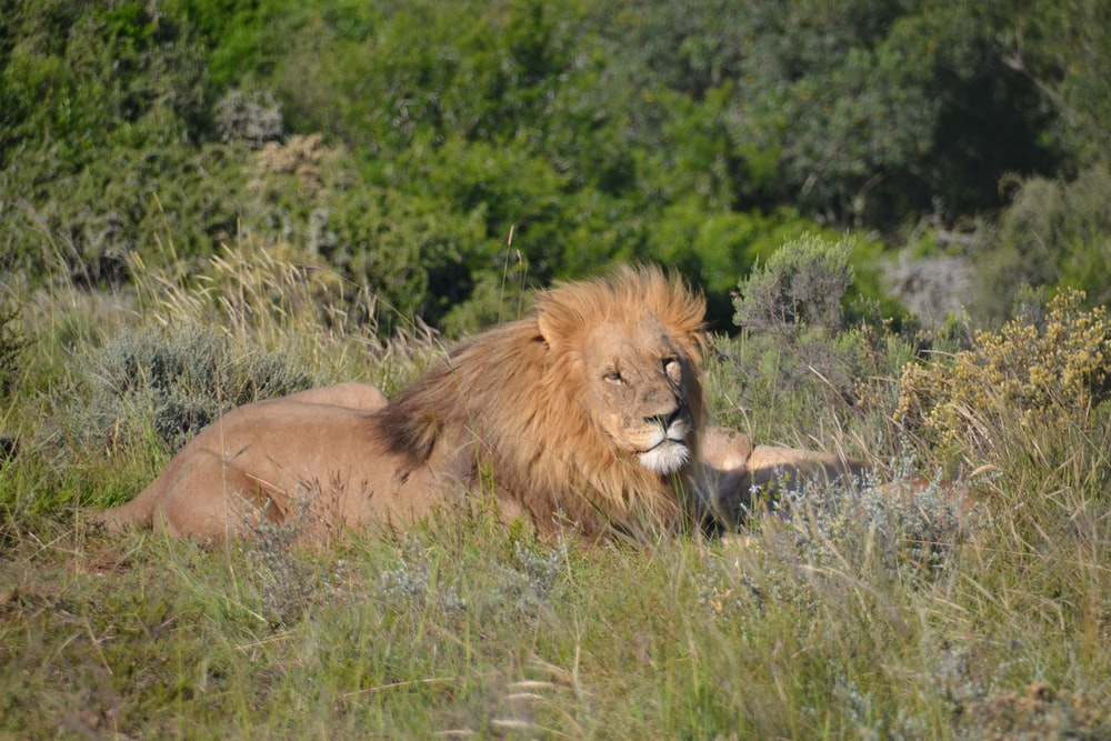 lion lying on green grass field during daytime