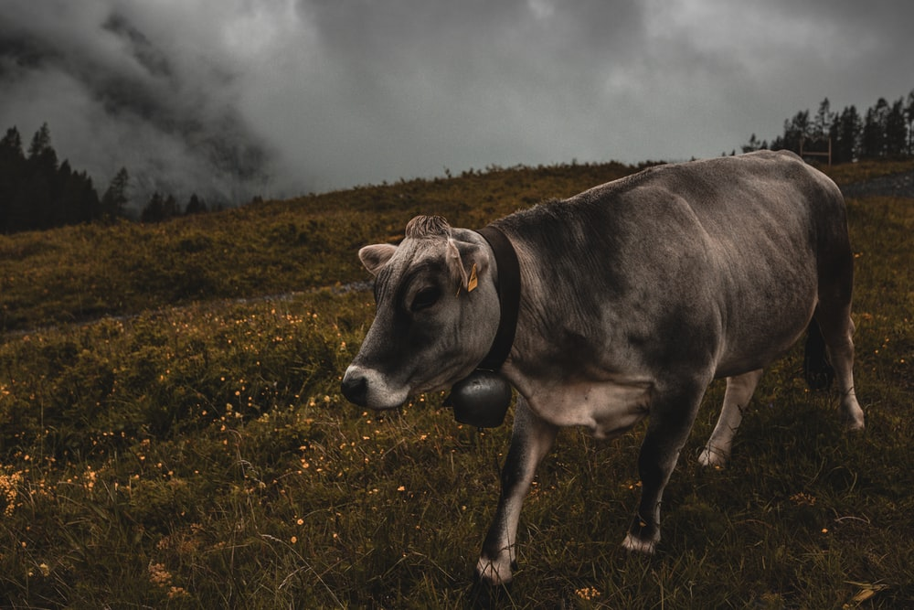 black cow on green grass field under white clouds during daytime