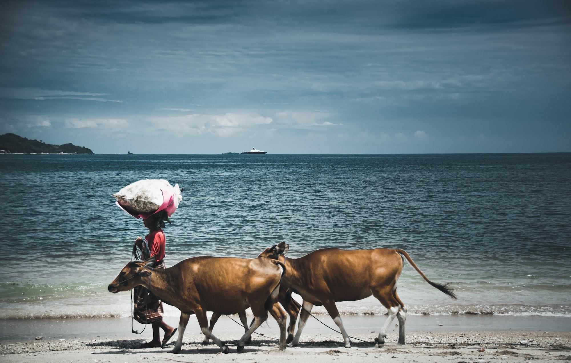 Коровы на пляже в Индонезии. Фотографии местных жителей Азии