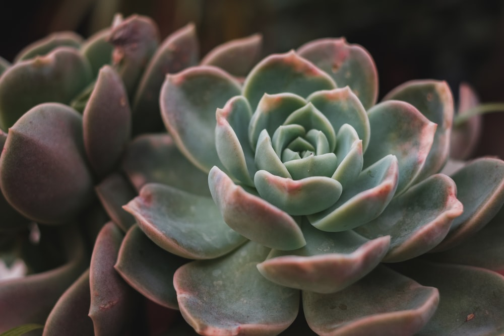 green and red succulent plant