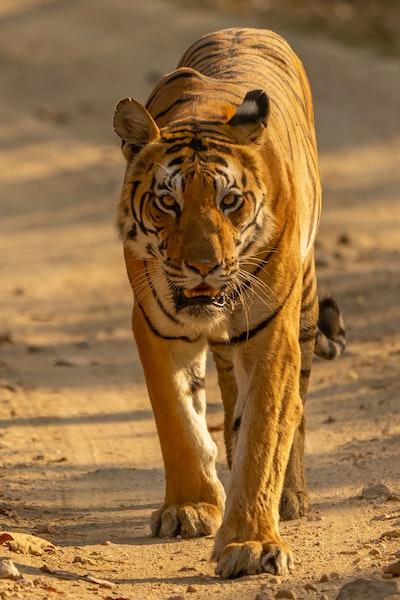 tiger on the road, Kanha nat. park, India