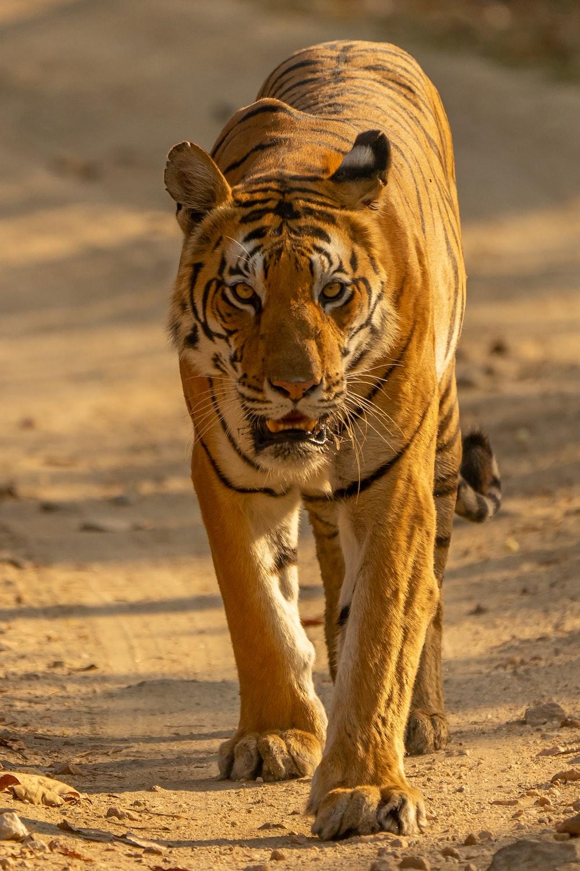 brown tiger walking on brown sand during daytime