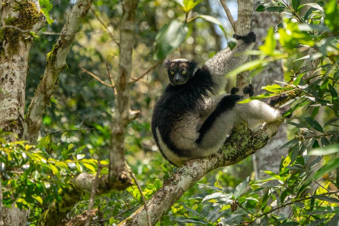 Indri (maki), Madagascar