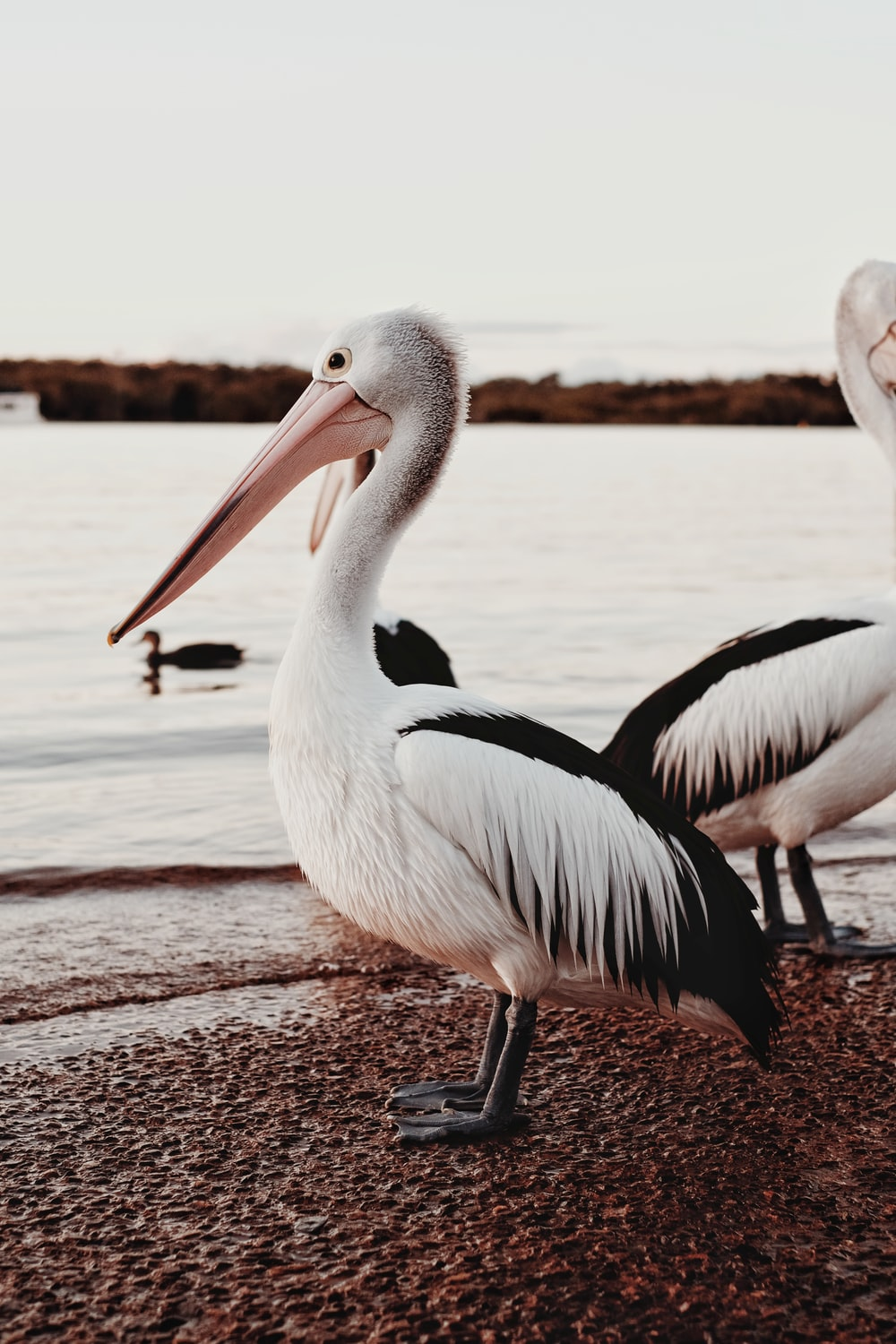 white pelican on brown wooden dock during daytime