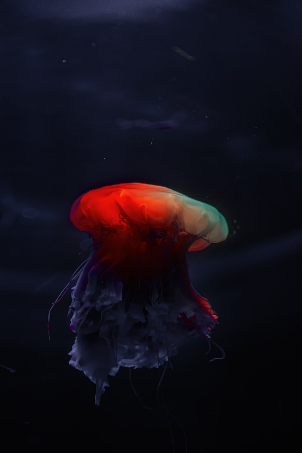 blue and red jellyfish in water