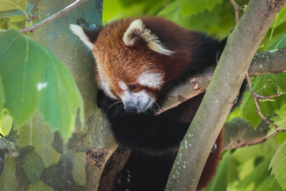 red panda on tree branch during daytime