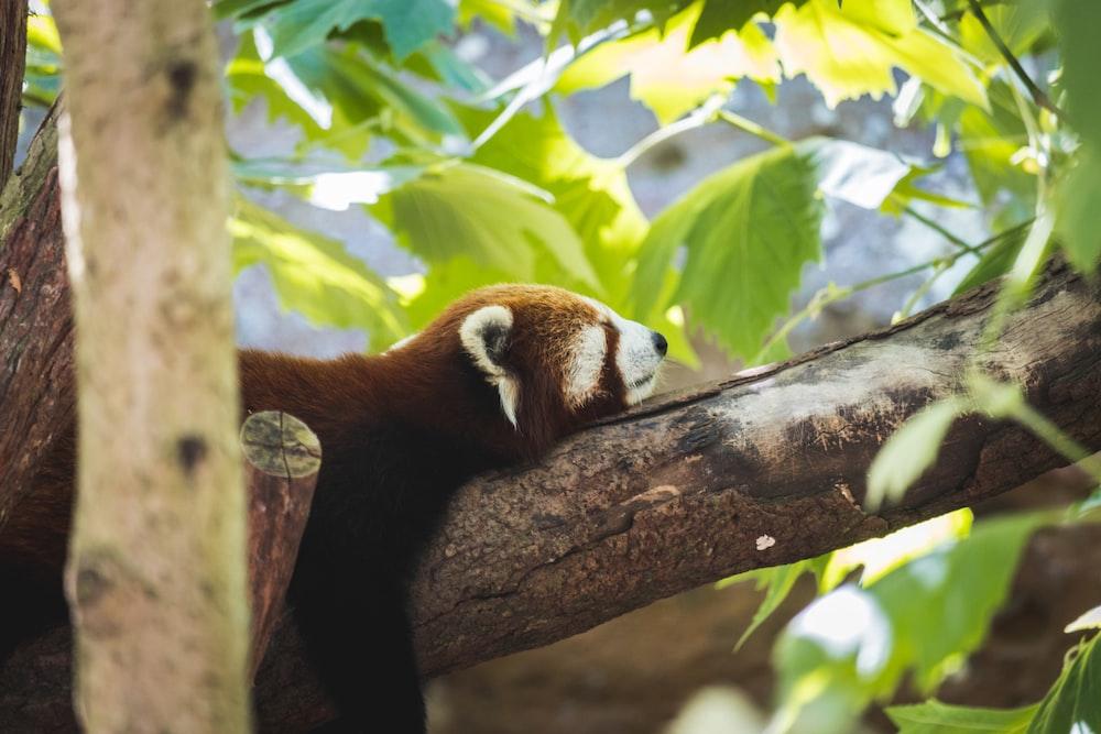 red panda on brown tree branch during daytime