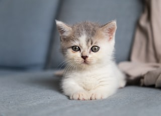 white and grey kitten on grey textile