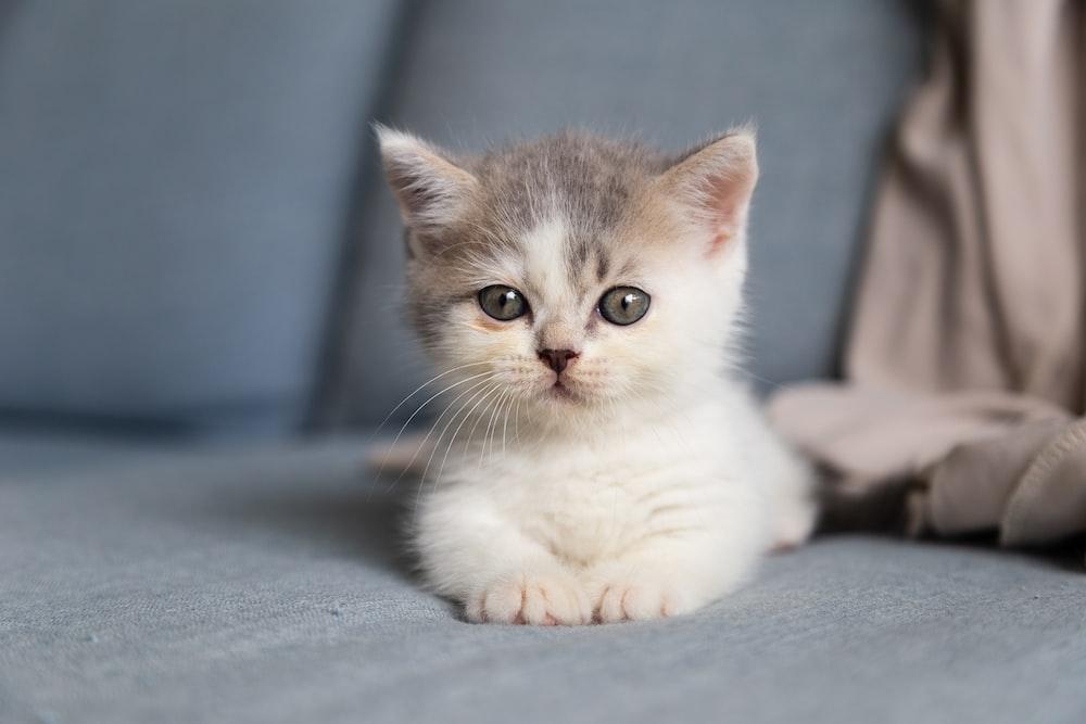 white and grey kitten on grey textile photo – Free Grey Image on Unsplash