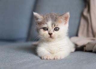 white and grey kitten on grey textile
