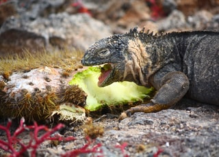 green and black iguana on brown rock