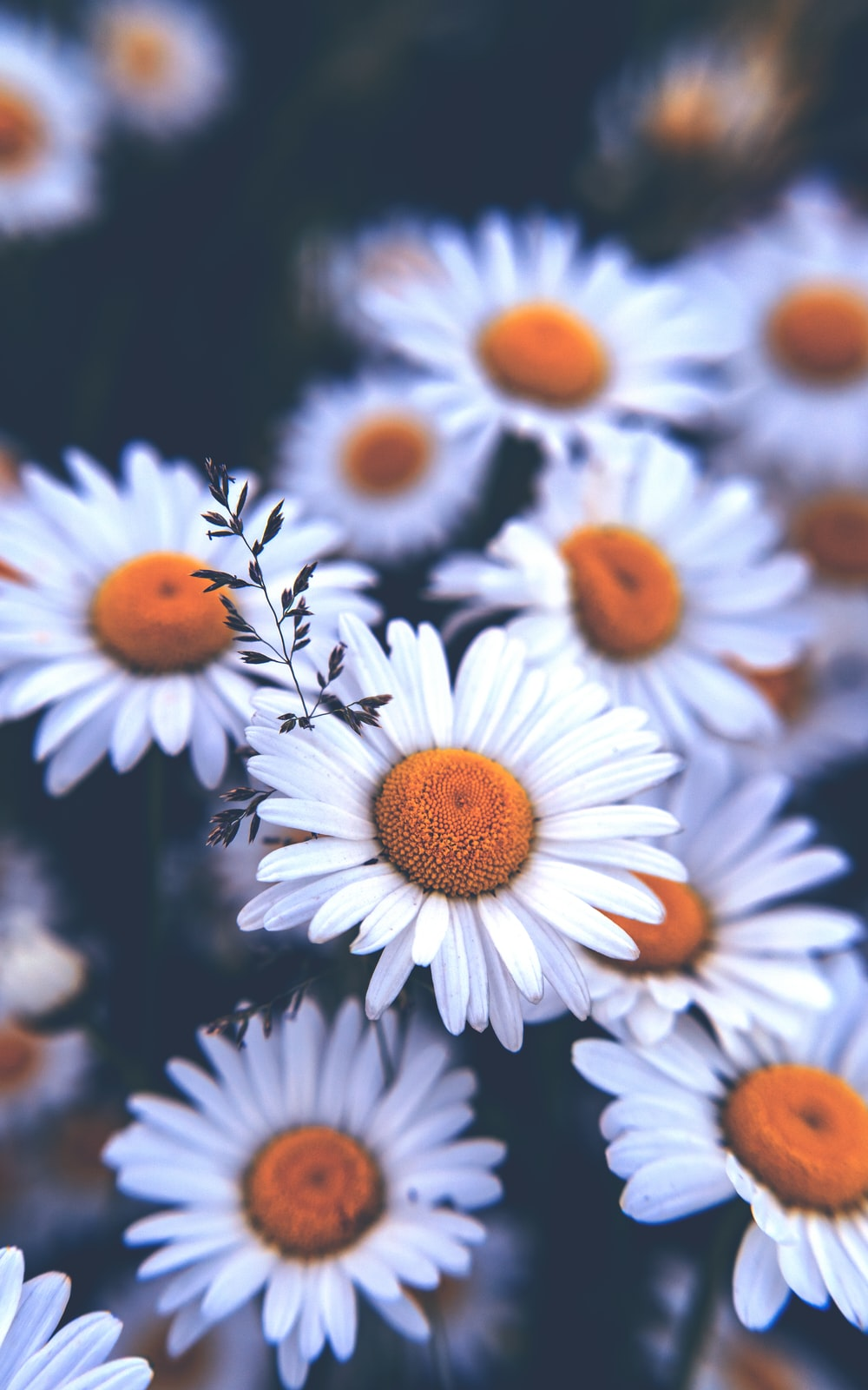 white and orange daisy flowers
