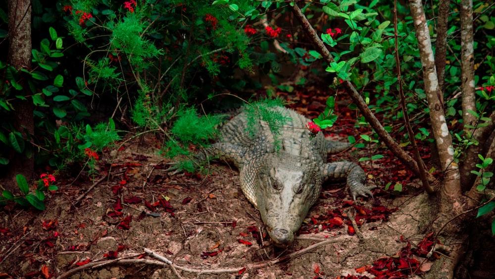 green crocodile on brown dried leaves