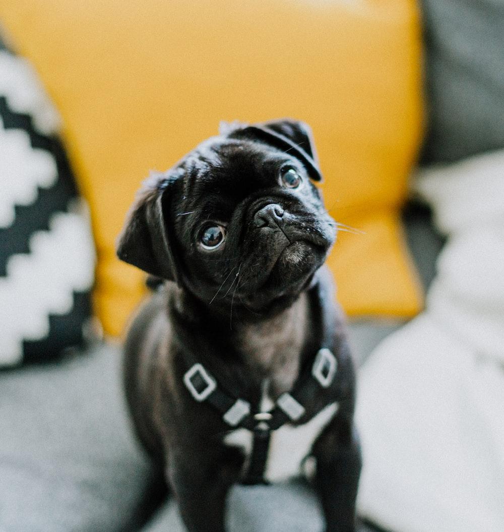 black pug on gray textile