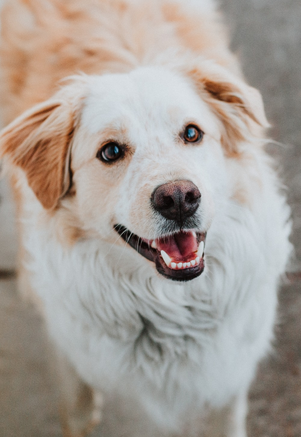 white and brown long coated dog