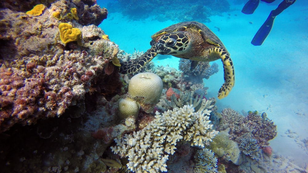 white and black sea turtle under water