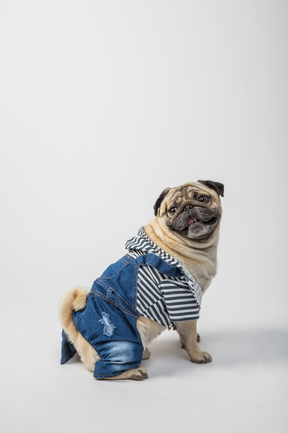 fawn pug wearing blue and white scarf
