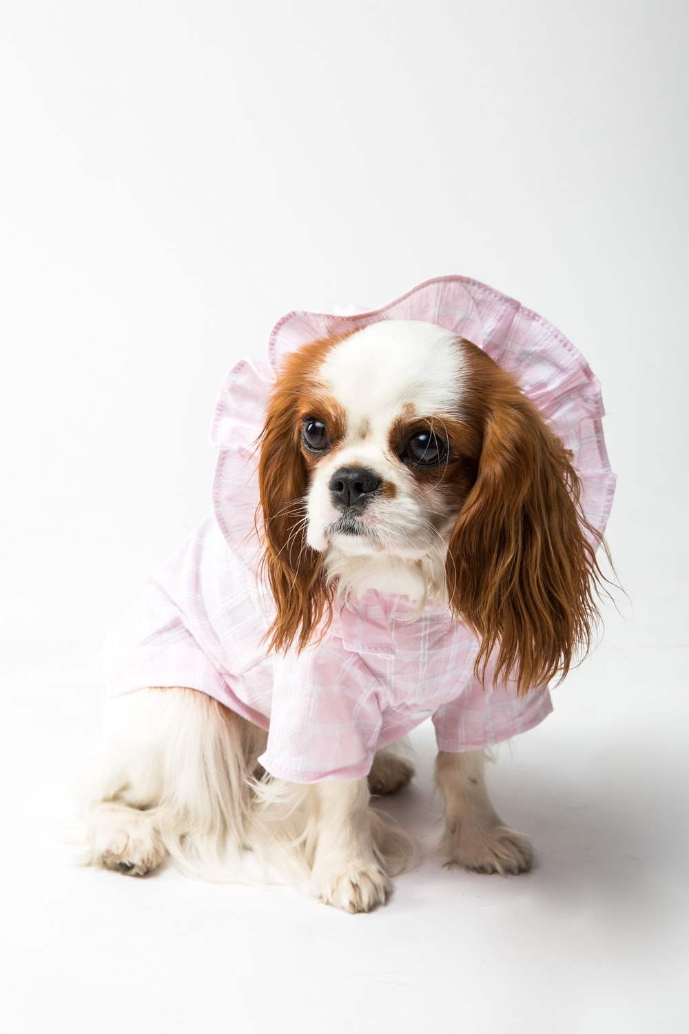 white and brown long coated small dog in pink hoodie