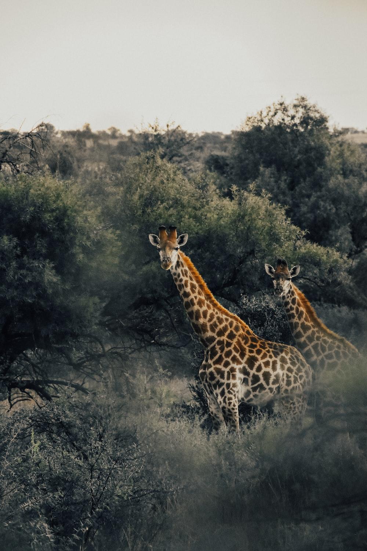 brown and white giraffe eating grass