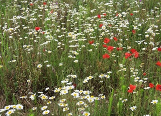 red and white flowers on green grass field