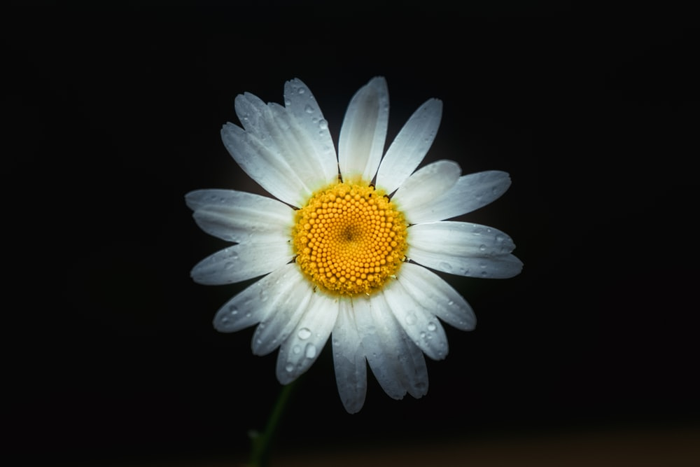 white daisy in bloom with black background