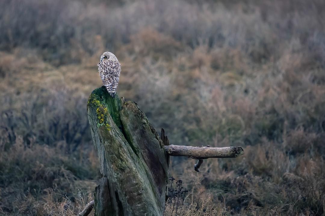 Short Eared Owl on a Stump.