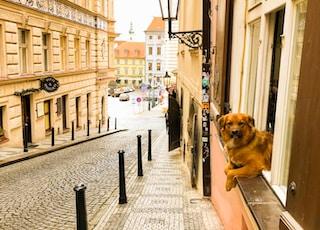 brown short coated dog walking on sidewalk during daytime