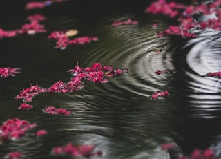 pink flowers on water during daytime