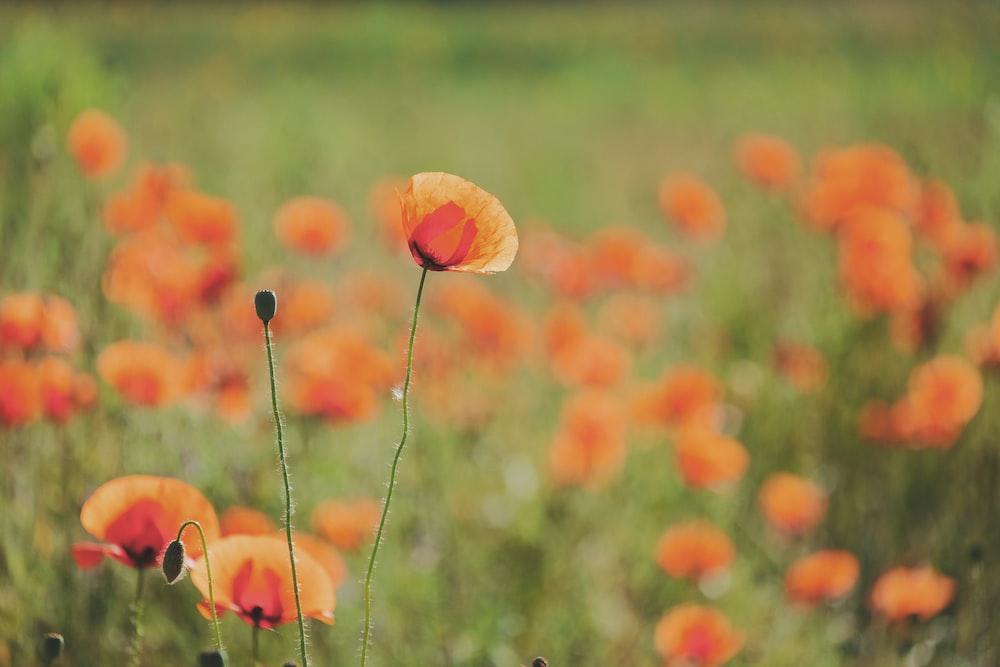 orange flower buds in tilt shift lens