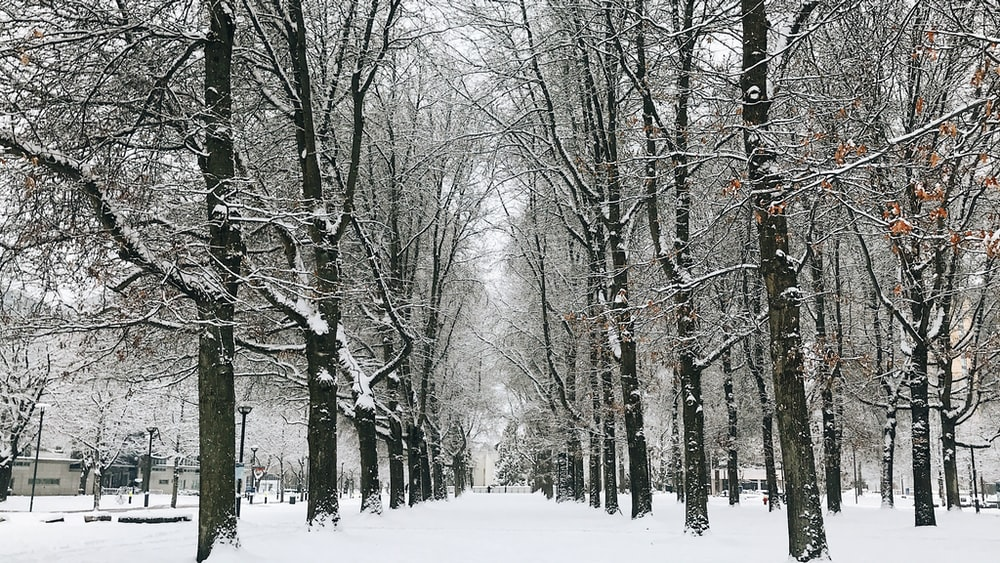 bare trees covered with snow during daytime