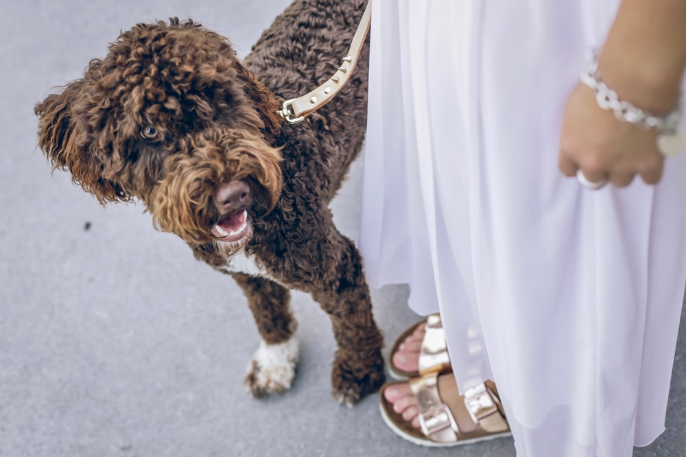 brown curly coated dog on white textile