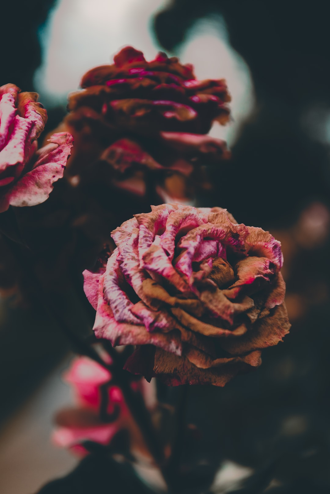 Dying decaying pink flowers in an old neighbourhood on a gloomy day