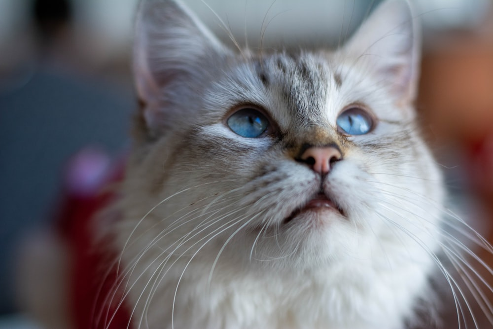 white and grey cat in close up photography