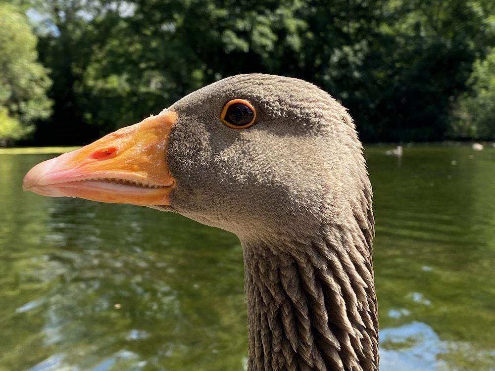 grey swan on water during daytime