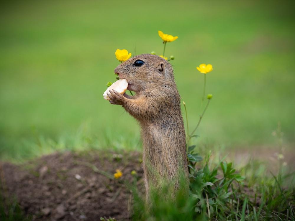 brown squirrel on brown soil during daytime